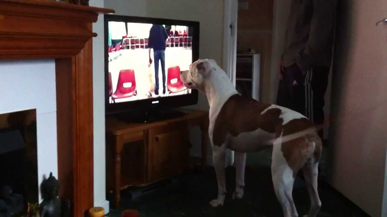dudley the american bulldog watching you ve been framed
