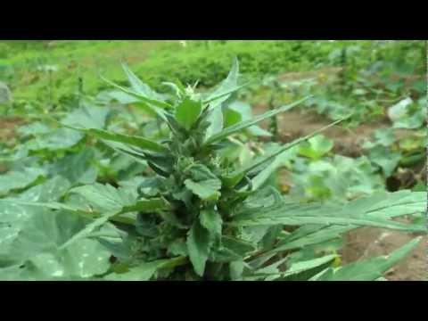 Jamaica 2013 Rasta Bud Hunter Bernard