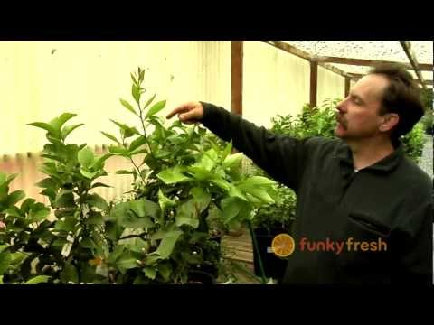 How To Prune a Lemon Tree / Citrus Tree