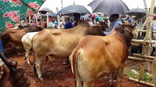 512।Animals video।Biggest Cow seller interview in Bangladesh। Cow video
