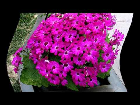 Комнатные цветы цинерария выращивание и уход фото 83