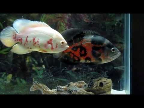 Watch together with Watch likewise Watch additionally Watch additionally Watch. on oscar fish youtube