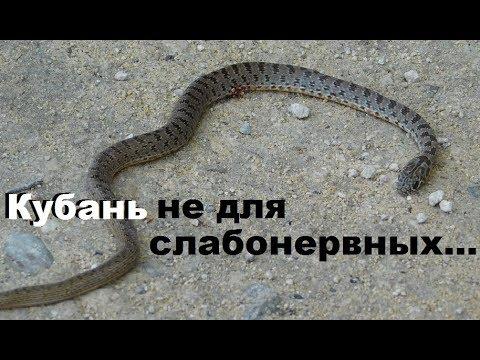 Змеи и черепахи Гостагаевской, Анапа, Кубань