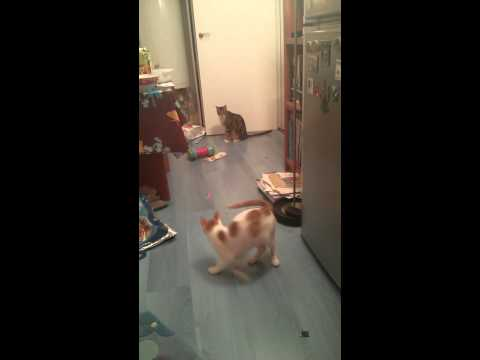 Chat Chasse Laser - Hawaii Et Sikis video