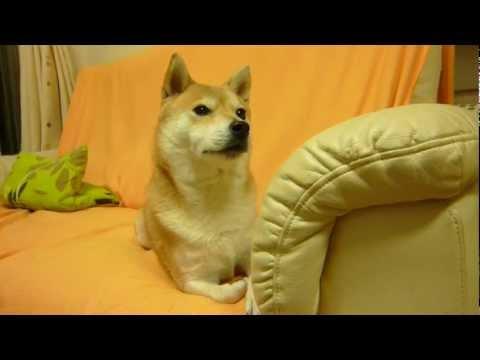 柴犬、大好きなパパを待つ☆Shiba is waiting for daddy love