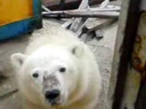 Белый медведь залез в окно.