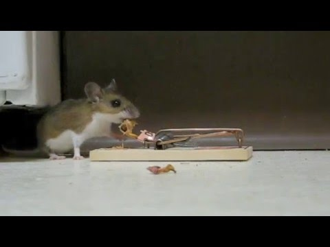 Victory Mouse Trap thumbnail