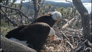 Big Bear Eagle Cam ~ ♥♥ Mom Sees Her New Baby For The First Time ♥♥ 4.14.19