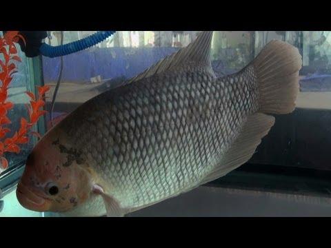 Giant Gourami, Aquarium fish