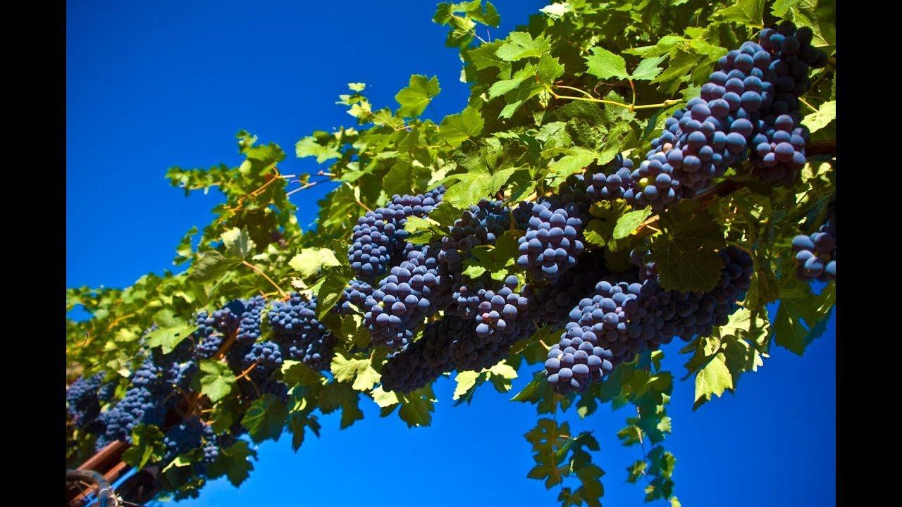 Выращивание винограда черенками в опилках 63