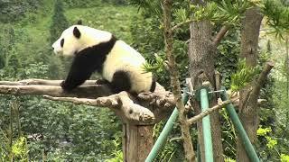 Happiness Village Baby Panda Park 07-28-2018 01:41:28 - 02:41:29