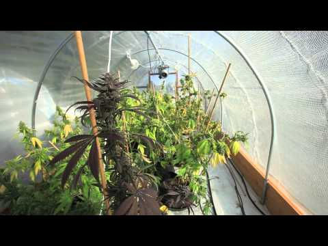 Grow Cannabis – Bud Porn – By Jorge Cervantes video