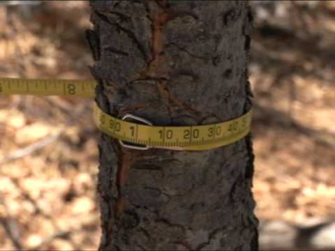 Thinning Trees - Defensible Space Techniques - Thinning trees creates healthier forest