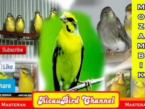 Masteran Burung Mozambik Super Gaco_ KicauBird