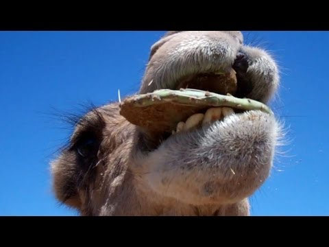 Camel chomping down inch long thorns