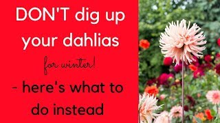 DON'T dig up your dahlias this winter - here's what to do instead