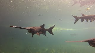 Tracking Paddlefish - Texas Parks & Wildlife [Official]