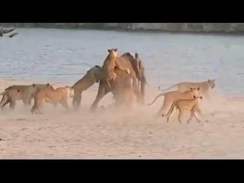 Никогда не сдавайся! Слонёнок против стаи львов.