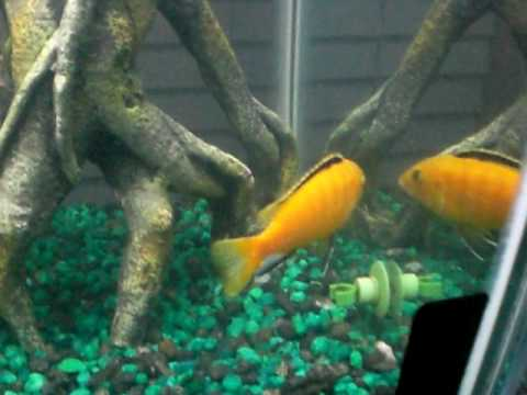 Tire Track Eel Size Tire Track Eel Cichlids