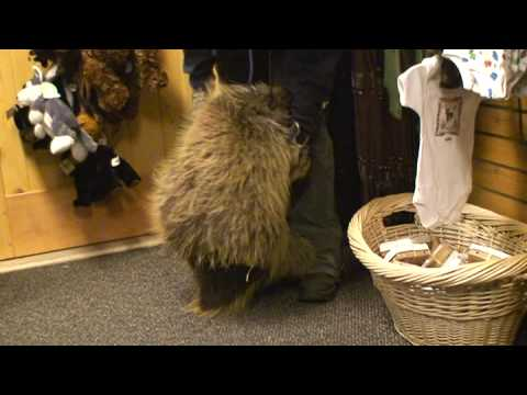 Porcupine who thinks he is a puppy! Video