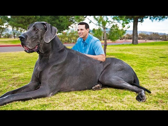 Play this video THE BIGGEST DOGS In The World