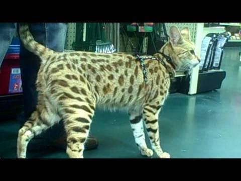 TITAN a male F1 Savannah Cat from A1 Savannahs goes shopping