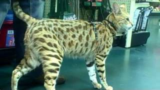 TITAN a male F1 Savannah Cat from A1 Savannahs goes shopping
