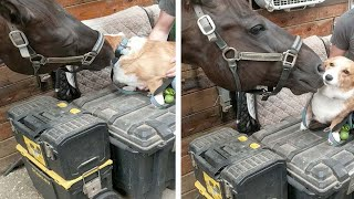 Horse Grooming Corgi Best Friend