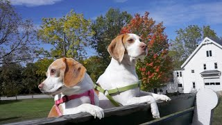 Cute Dogs Watch Leaves Change Color: Maymo & Penny