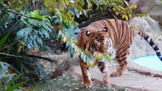 This is how quick it can become dangerous by the tigers!