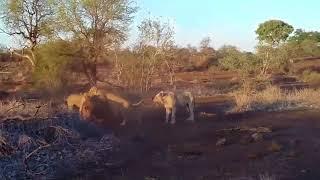 Lion vs Rhino    Buffalo vs Rhino    Real Fight Wild Animal Attacks HD