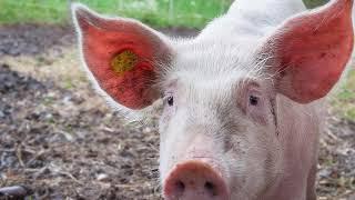 Nằm mơ thấy con lợn(con heo)  - Giải mã giấc mơ thấy lợn là điềm báo gì ?