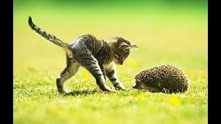 HEDGEHOGS Trying To Befriend KITTENS - Cute Kitten And Funny Hedgehog Videos Compilation 2018