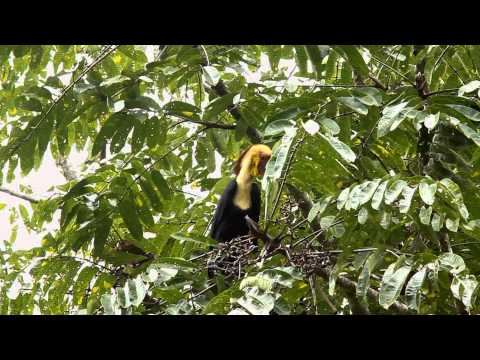 Plain-pouched Hornbill