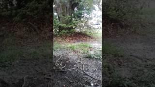 Floridian Exotic Oak Genster