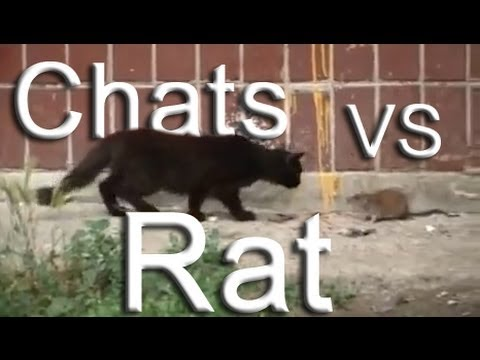 Rat contre chats