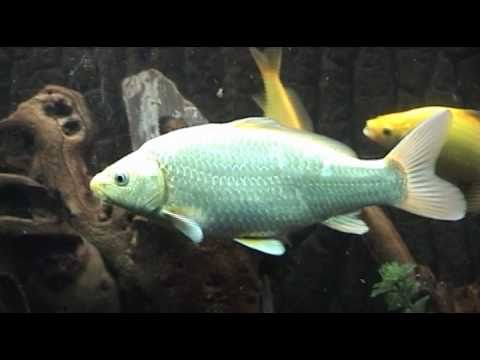Koi fish aquarium youtube for Koi fish tank