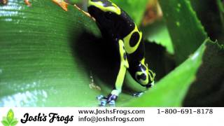 3 Great Dart Frogs for Beginners