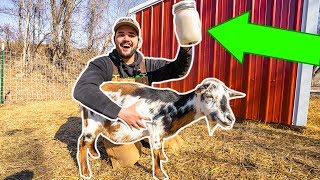 MILKING My BACKYARD GOATS for the FIRST TIME!!! (Straight from the Udder)