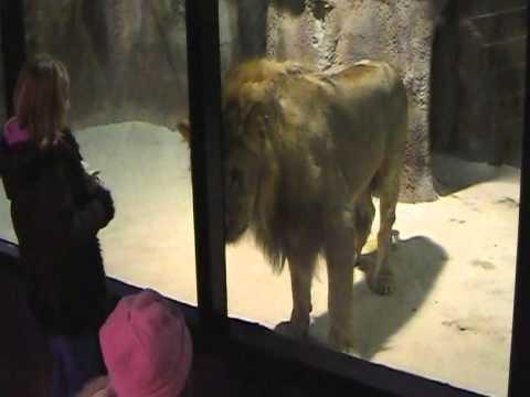 Lion Attacks Little Girl