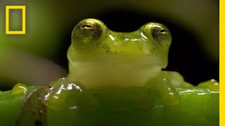 The Glass Frog: Ultimate Ninja Dad | Animal 24