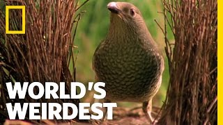 Bowerbird Woos Female with Ring | World