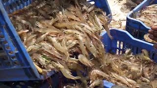 Shrimp Fishing  Prawns Fishing  Prawns Catching Vi