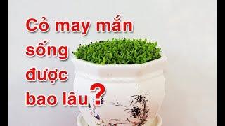 Cây cỏ may mắn sống được bao lâu, cách trồng cỏ may mắn trong chậu và cách tưới nước