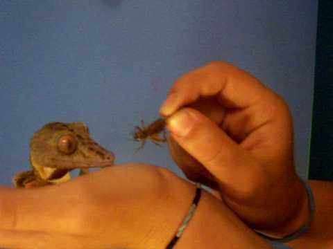 Leaf Tail Gecko Video
