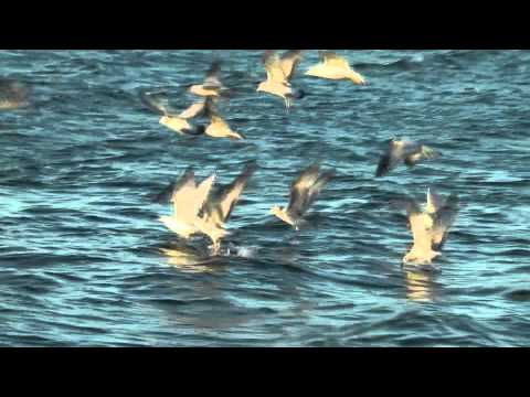 Free Fishing Video Action Follow The Birds. Gulls. loons. pelicans or sea birds on the ocean