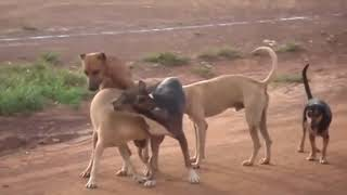 Street Dog Mating Competition