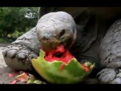 Galapagos Tortoises Habitat Galapagos Tortoise World 39 s