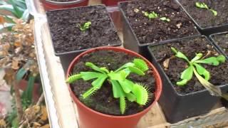 plantas carnivoras-como cuidar una venus atrapamoscas 2