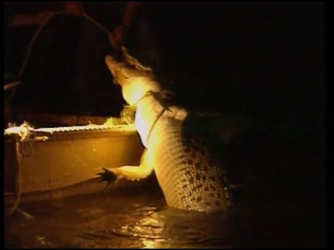 Crocodile tagging in Kakadu
